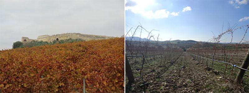grancia-tralci-tenuta-parco-dei-monaci-azienda-agricola-vitivinicola-produzione-vino-primitivo-doc-monacello-rosapersempre-spaccasassi-matera-basilicata