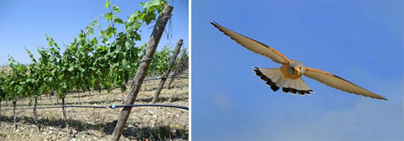 tralci-falco-grillaio-tenuta-parco-dei-monaci-azienda-agricola-vitivinicola-produzione-vino-primitivo-doc-monacello-rosapersempre-spaccasassi-matera-basilicata