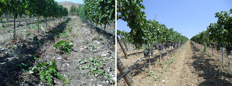 tralci-tenuta-parco-dei-monaci-azienda-agricola-vitivinicola-produzione-vino-primitivo-doc-monacello-rosapersempre-spaccasassi-matera-basilicata