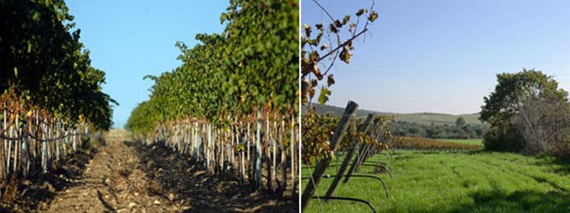 vigneti-autunno-tenuta-parco-dei-monaci-azienda-agricola-vitivinicola-produzione-vino-primitivo-doc-monacello-rosapersempre-spaccasassi-matera-basilicata